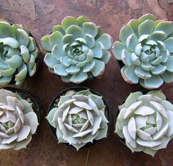 two inch succulent plants