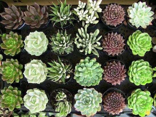 Succulent Plant Assortment 20 Urban Succulents
