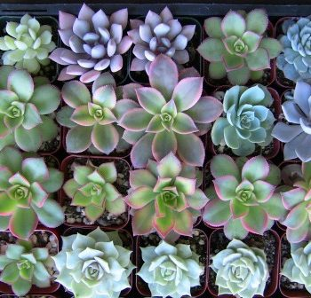 "Collection of 30 2.5"" succulents-"