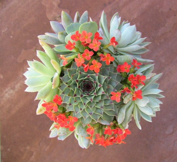 sempervivum bouquet