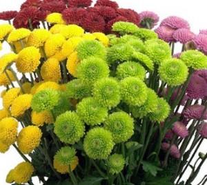 button-poms-chrysanthemum-flowers