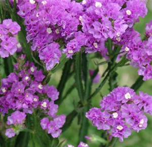 purple-statice-filler (Medium)