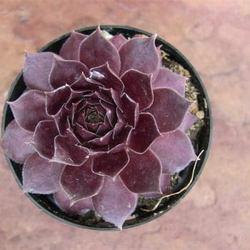 Sempervivum Purple