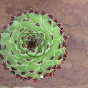 Sempervivum-calcareum