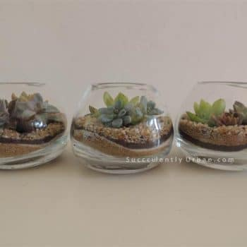 Set of Three Succulent Terrariums (San Diego Only)