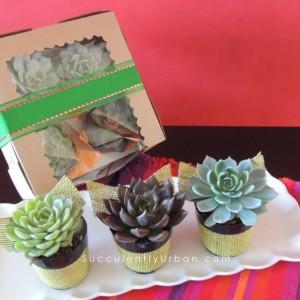 Succulent_cupcakes-8433