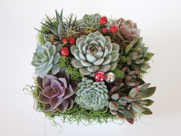 Succulent arrangement for Christmas