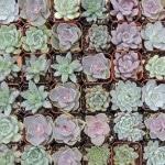 succulent-favors 0786