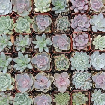 Collection of 100 purple 2-inch succulents