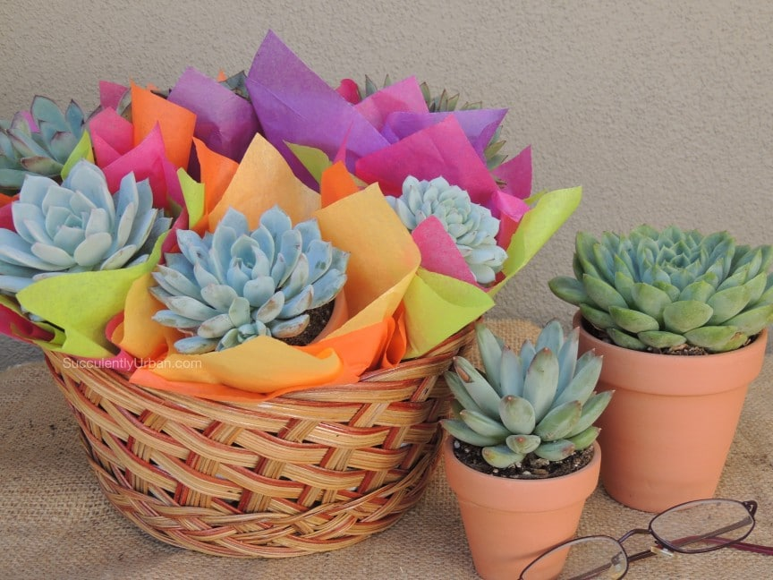 Succulent Gifts