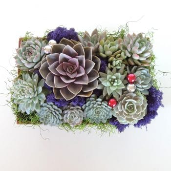 Perle Von Nürnberg Arrangement - Includes Shipping