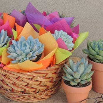 Large Succulent Gift Basket - Includes Shipping