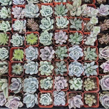 "20 - 2.5"" succulent plants for wedding/party favors"