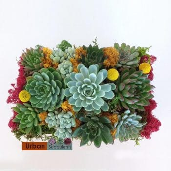Succulent Arrangement with Sempervivums