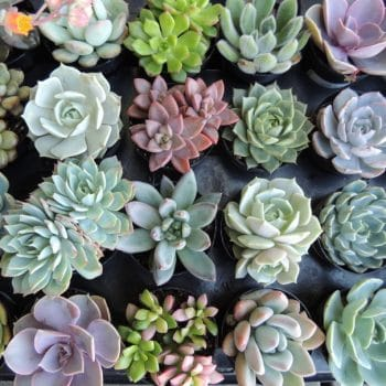 Succulent Plant Assortment 18