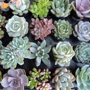 Succulent-arrang 0433