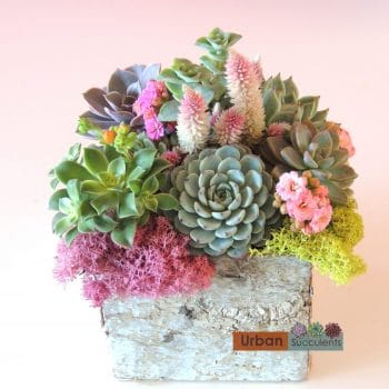 Candice - Succulents in Birch Bark Container