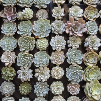 Succulent Plant Assortment 8