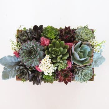 Succulent Arrangement with Sempervivum Succulents