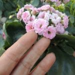 light pink calandiva blooms, bridesmaid bouquet designed with succulents