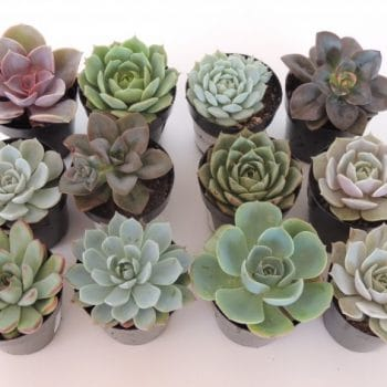 Succulent Plant Assortment 12