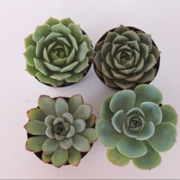 Succulent Plant Assortment 4