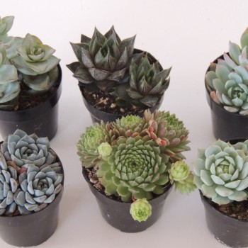 succulent plant assortment