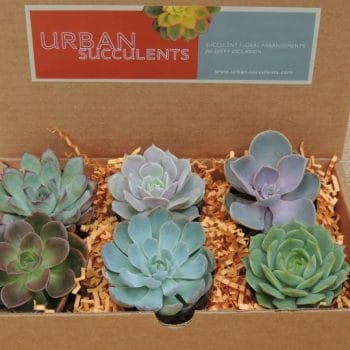 Set of 4 Succulent Gift Boxes (Azuree)