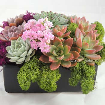 Succulent Arrangement Modern Wide Lip Tray Urban Succulents