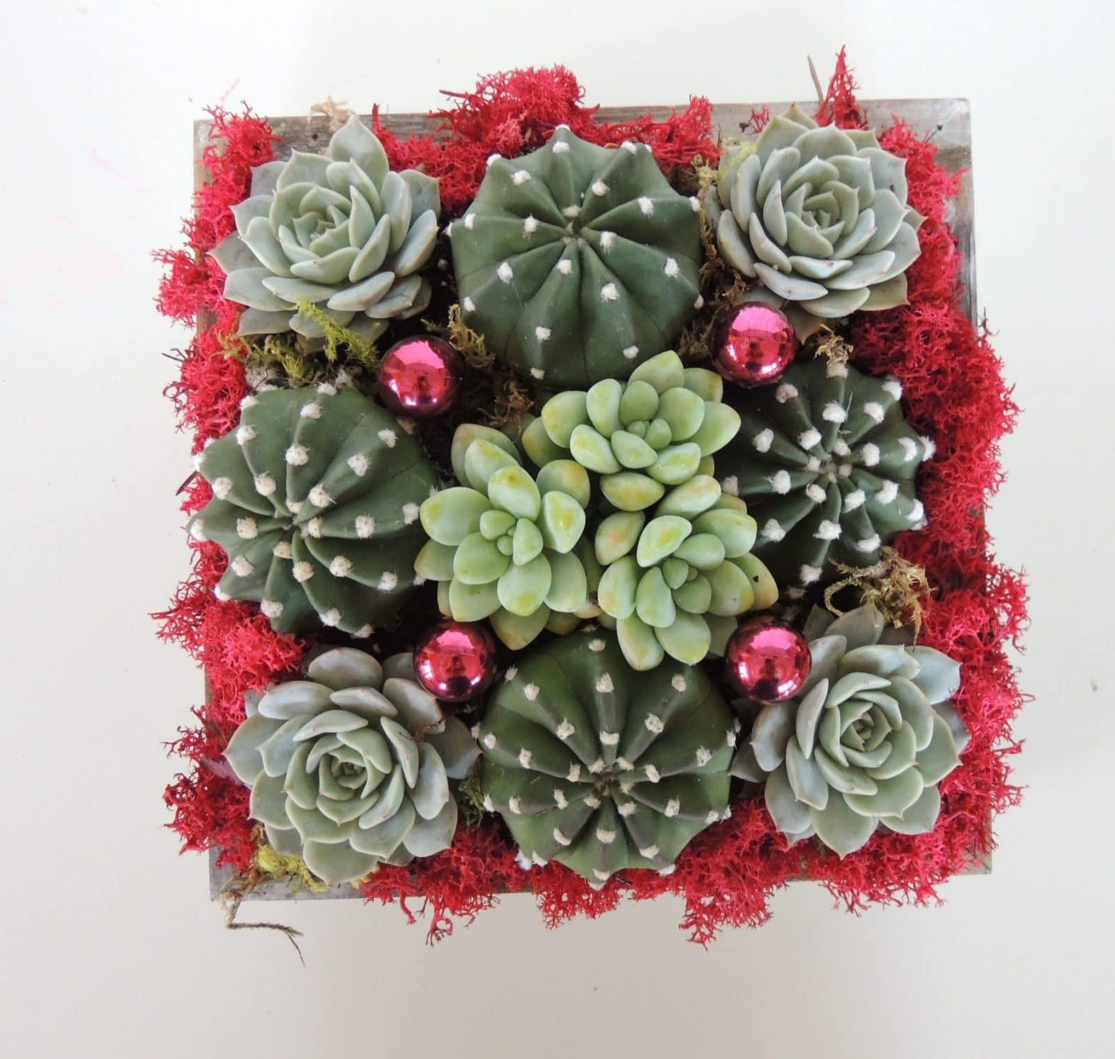 Christmas Succulent Gift.Cactus And Echeverias Arrangement