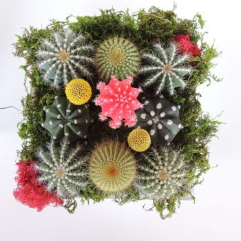 Grafted Cactus Arrangement with Crespedias - Includes Shipping