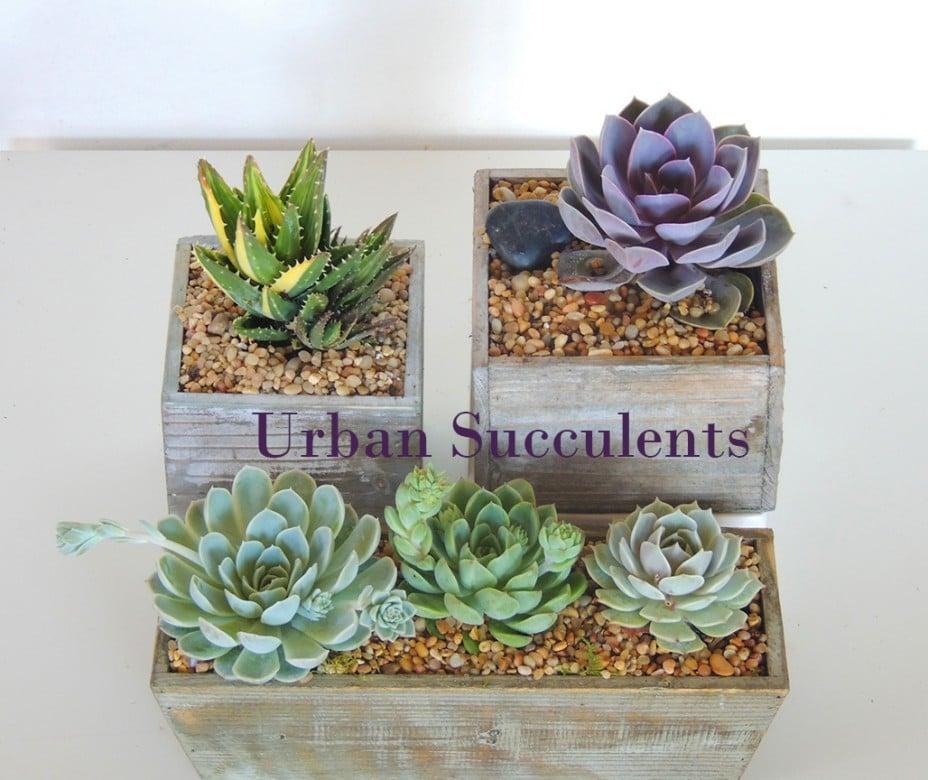 succulents-inWood-box_9995c