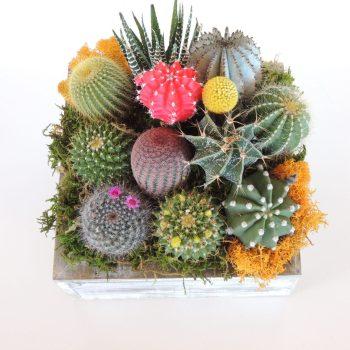 Cactus Garden, Green Gift