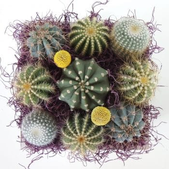 Cacti and Crespedias - Includes shipping