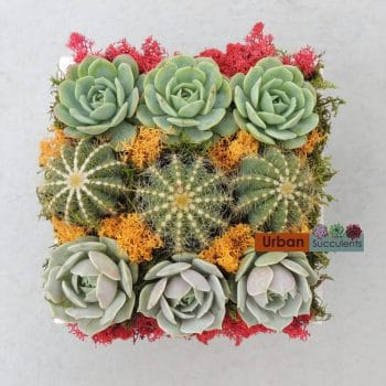 Echeveria Succulents and Cati
