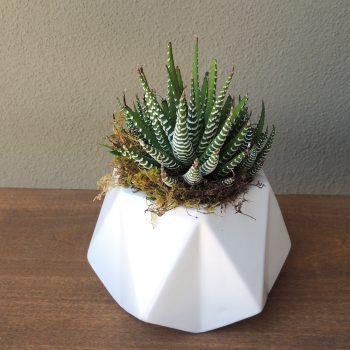 Collection of geo pots with haworthia succulent -Selfi