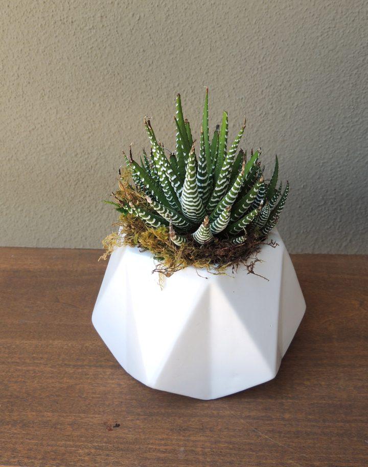 zebra plant in geodesic