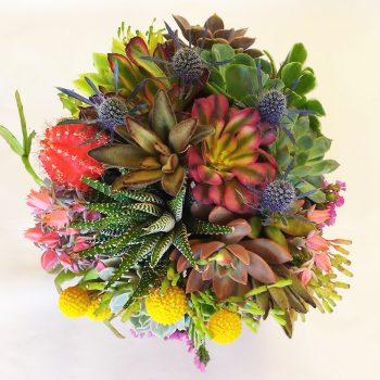 haworthia-moon-cactus