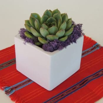 Echeveria in Ceramic Cube