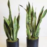 Sansevieria-snake plant