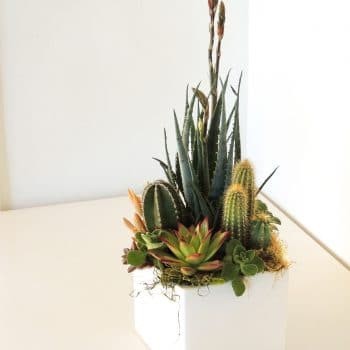 Blue Elf Agave and Cacti Arrangement