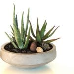 dish garden with aloes