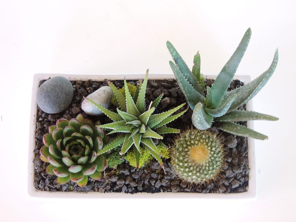 Mamilaria, haworthia, aloe and echeveria.